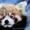 Красная панда для продажи хорошей цене. #277606
