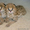 Сервал,  Саванна,  оцелот,  Маргей,  гепарда и бенгальские котята на продажу #275144