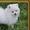 милые Поморское щенки #1192153