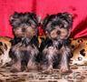 2 йоркширских щенков для продажи, ., ., , , , , , , , ....