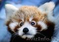 Красная панда для продажи хорошей цене.